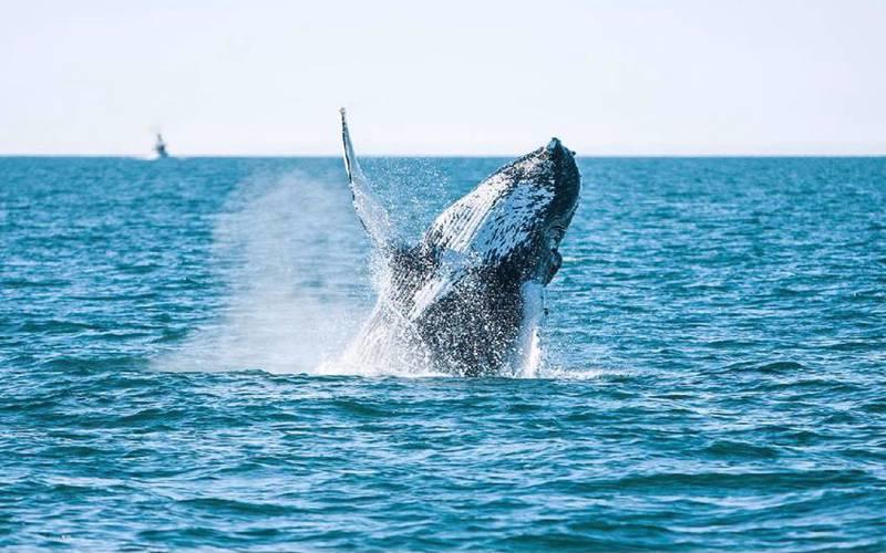 4 grunner til å dra på hvalsafari